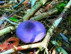purplecort